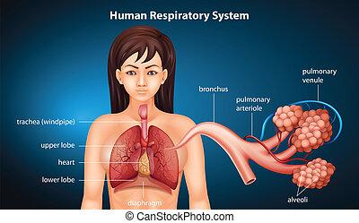 menselijk, ademhalings systeem