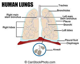 menselijk, longen