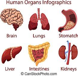 menselijk, organen, illustratie, vector, infographics, spotprent