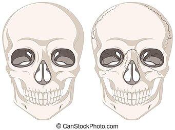 menselijk, schedels, op wit, achtergrond