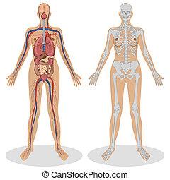 menselijke anatomie, van, vrouw