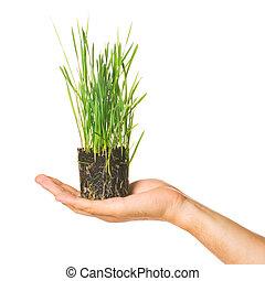 menselijke hand, vasthouden, groen gras
