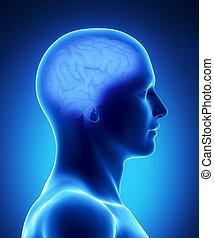 menselijke hersenen, anatomie