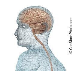 menselijke hersenen, en, lichaam, draad, model