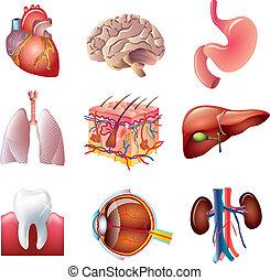 menselijke lichaam onderdelen, vector, set