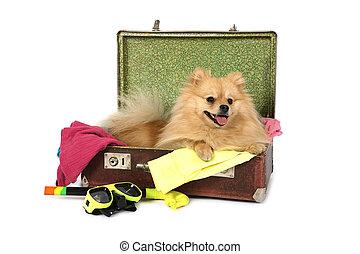 mensonge, chien, pomeranian, valise