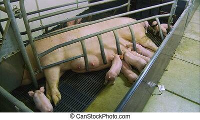 mensonge, cochon, nourrisson, |, stylo, mère, royaume-uni, ...