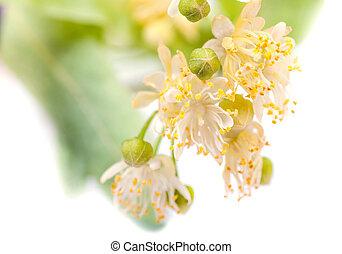 mensonge, soucoupe, fond, tilleul, blanc, branche fleurissante
