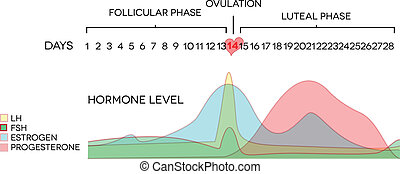 Menstrual cycle hormone level. Avarage menstrual cycle. Follicular phase, Ovulation, luteal phase.
