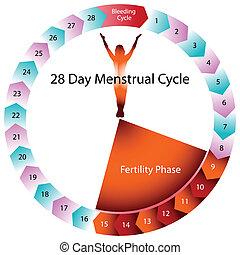 menstruations, bördighet, kartlägga, cykel