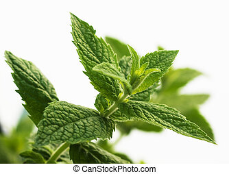 Mentha piperita, mint leaves over white background, not ...