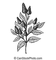 Mentha plant engraving vector illustration. Scratch board...