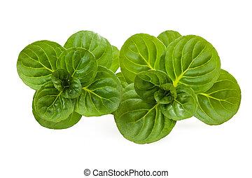 Mentha rotundifolia - Sprig mint isolated on white