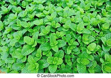 menthe, plante, développé, à, légume, garde