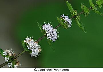 menthol - a kind of plant named menthol