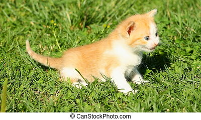 Meowing Kitten on the green grass