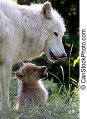 mer du nord, loup