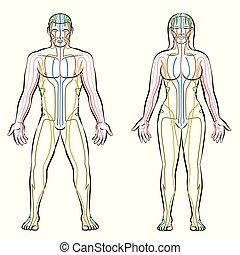 meridiani, meridiano, corpo, maschio, sistema, femmina, colorato