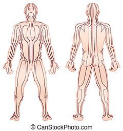 Meridians - meditating man with main acupuncture meridians - front view, back view - Isolated vector illustration on white background.