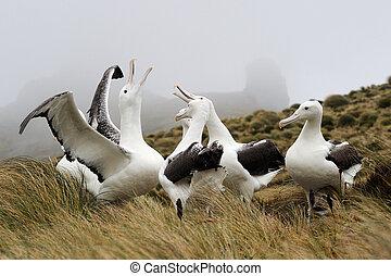 meridional, albatros, real