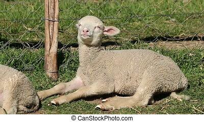 Merino sheep lamb