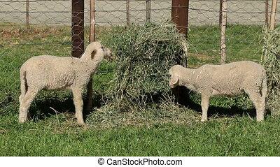 Merino sheep lambs