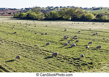 Merino sheep pasturing