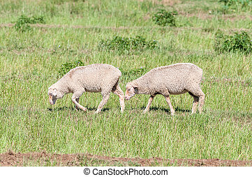 Merino sheep walking