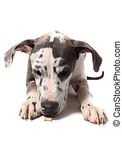 Merle Great Dane - Great Dane with merle coat snifffing a...