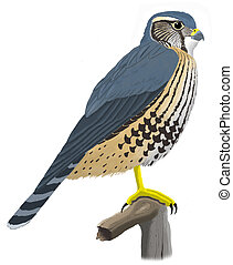 Merlin - Falco columbarius - Pigeon Hawk