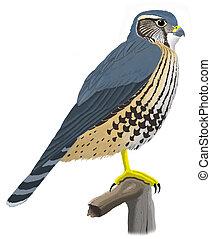 Merlin - Falco columbarius - Pigeon Hawk