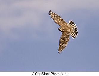 Merlin in flight - A merlin falcon in flight
