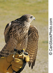 Merlin/Geofalcon crossbred