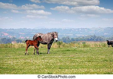 merrie, en, foal, in, wei, welen seizoen op