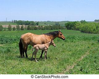 merrie, en, foal