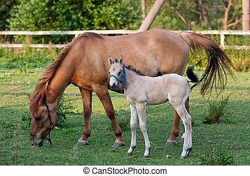 merrie, en, haar, foal