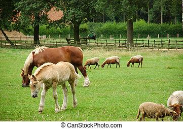 merrie, en, merrieveulen, grazing.