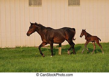 merrie, en, pasgeboren, foal