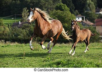 merrie, met, foal, rennende