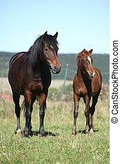 merrie, van, tsjech, sportende, pony, met, zijn, foal