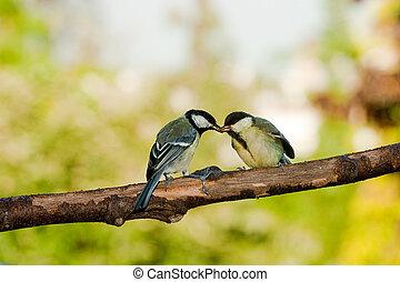 mes, ivrig, utfodrande fåglar