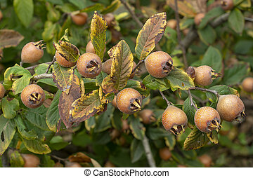 Mespilus germanica - Common medlar - Common medlar, fruits ...