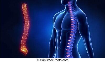 messo fuoco, su, spina, vertebra, regione, in