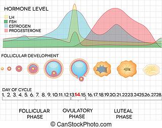 mestruale, ormone, ciclo, ovulazione, processo, livelli, ...