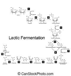 metabolic, láctico, químico, esquema, camino, fermentación