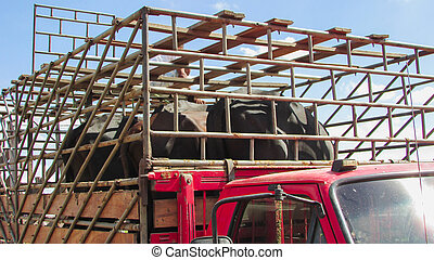 Metal crate put on a truck, with oxen inside being transported, known as cattle truck in northeastern Brazil