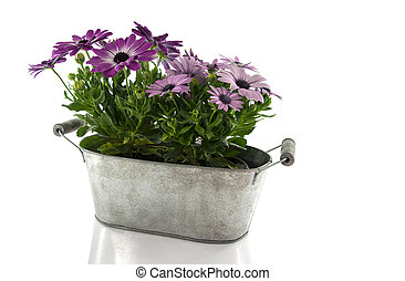 metal pot with spanish daisy isolated on white
