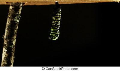 metamorfose, van, een, vlinder