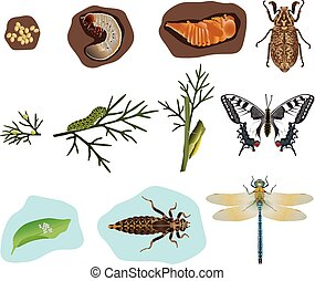 Metamorphosis of insects - The stages of metamorphosis of...