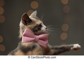 Metis cat with pink bowtie playing with paw - side view of a...